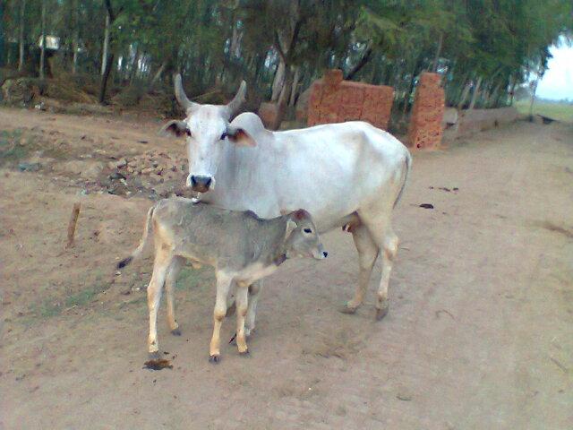 COW  CHILDREN
